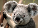 koalatee