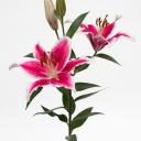 lilylily